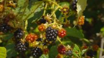 Blackberries On Plants