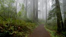 Steadicam Walking On Path Through Redwood National Park, With Fog And Ultra Wide Lens