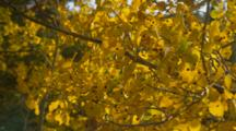 Close Up Birch Or Aspen Leaves In Gold Fall Color