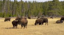Bison Herd By Lower Geyser Basin, Yellowstone