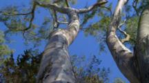Looking Up Eucalyptus Tree With Blue Sky