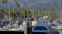 Boats In Marina In Santa Barbara, Pelicans Roost On Posts
