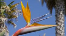 Close Up Bird Of Paradise Flower With Blue Sky, Palm Trees Behind