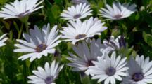 White Purple Eye African Daisy