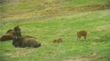 Bison With Calves In Green Field In Yellowstone