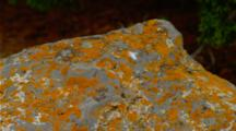Colorful Lichens On Rock At Mammoth Hot Springs