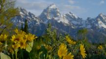 Morning Sun Lighting Teton Range And Mule Ear Flowers