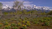 Aspens And Mule Ear Flowers In Font Of Teton Peaks