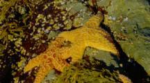 Orange Sea Stars On Rocks By Brookings, Or