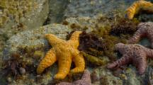 Red And Orange Sea Stars On Rocks By Brookings, Oregon
