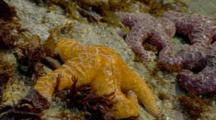 Red And Orange Sea Stars On Rocks By Brookings, Oregon