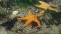 Sea Stars Among Sea Grass In Intertidal