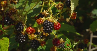 Blackberries On Plants In Breeze