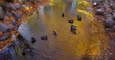 Looking Down,Ducks Gather in Stream Reflecting Fall Leaves