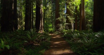Edited Compilation: Steadicam Travel Through Redwood National Park Forest