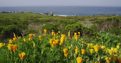 California Poppies Above Rugged Califronia Coast