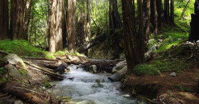 Tilt Down From Tree Tops to Rocky Stream in Forest