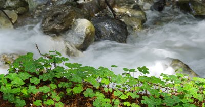 Sorrel Grows Next to Rocky Stream in Forest