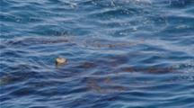 Harbor Seal Rests, Head Sticking Above Surface Of Ocean