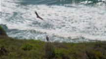 California Condors Fly Around Coastal Cliff