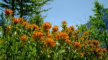 Indian Paint Brush Flowers Move In Breeze