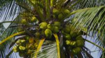 Close Up Fruit In Coconut Palm Tree