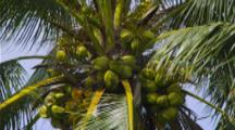 Zoom Out From Fruit In Coconut Palm Tree Blows In Wind
