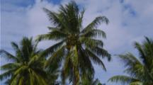 Coconut Palm Tree Blows In Wind