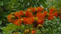 Zoom Out From Flower Of African Tulip Tree