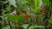 Heliconia Flowers Among Vegetation In Hawaiian Forest