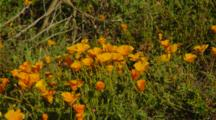 California Poppies On California Coast