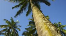 Pan Of Palm Tree Grove Looking Up