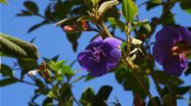 Close Up Purple Princess Flowers