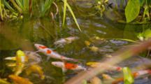 Koi Pond With Aquatic Plants