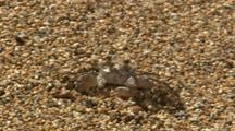 Ghost Crab Walks Across Sand, Kauai