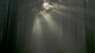 Sunlight streaming through a forest of Sitka Spruce at Cape Sebastian State Scenic Corridor near the Oregon coast