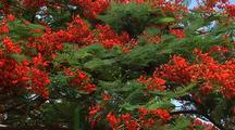 Royal Poinciana Flowers, Hawaii