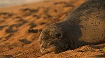 Hawaiian Monk Seal Lies On Beach