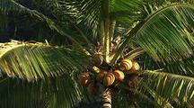 Coconut Palm Tree, Hawaii Coastline