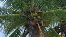 Coconut Palm Tree Close-Up
