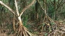 Pandamus Trees, Big Island, Hawaii