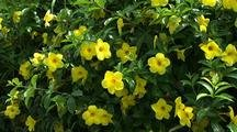 Yellow Flowers, Maui