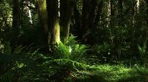 Ferns In Rain Forest In Olympic National Park