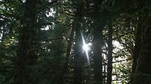 Sun Rays In Forest In Olympic National Park