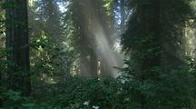 Sun Rays Through Forest In Redwood National Park