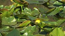 Water Lillies In Redwood National Park