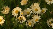 Wild Daisies In Redwood National Park