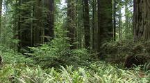 Redwood Forest Scenic, Redwood National Park