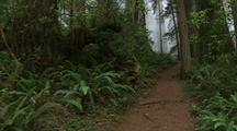 Walking Down Path In Redwood Forest, Steadicam