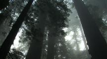 Walking Through The Forest, Fog In Redwood National Park